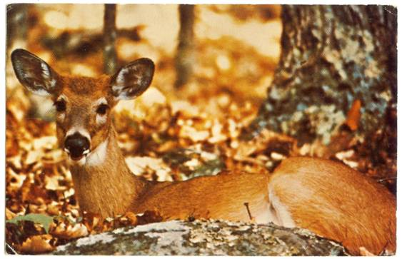 Postcard with Deer Resting in the Shenandoah National Park in VA