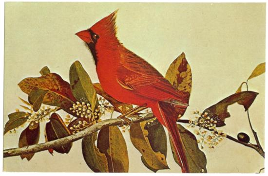 Postcard Audobon Painting of The Cardinal State Bird of 7 States