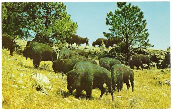 Curt Teich Postcard of Buffalo at Custer State Park Black Hills SD