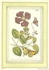 Butterfly & Clematis Flowering Vine 18th Century Reproduced Print